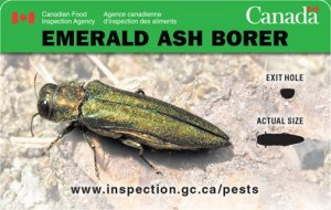 Emerald Ash Borer. Actual size: approximately 8.5 to 14 millimetres. Exit hole: approximately 3.5 millimetres.