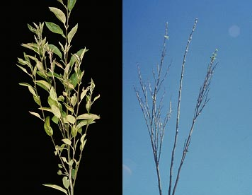 Figure 1: Witches broom symptoms on apple trees infected with Candidatus Phytoplasma mali
