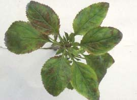Figure 2: Leaf rosettes on apple tree infected with Candidatus Phytoplasma mali