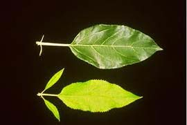 Figure 3: Leaf (bottom) with enlarged stipules and shortened petiole from a tree infected with Candidatus Phytoplasma mali, compared to a healthy leaf (top) (eppo.int)