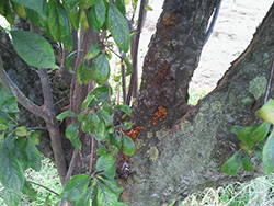Expelled A. bungii frass from Prunus in Italy