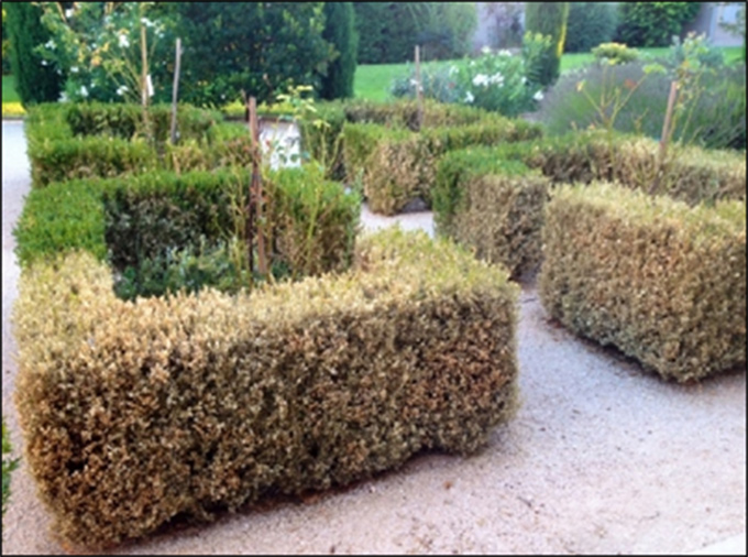 Figure 2. Boxwood hedge damaged by Cydalima perspectalis