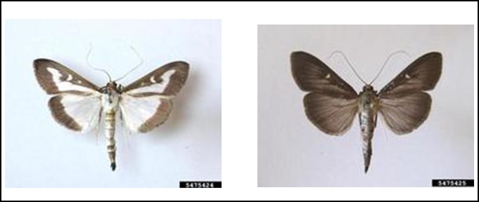 Figure 6. Adult Cydalima perspectalis (on the left is the common variant, and on the right is the 'melanic' variant)