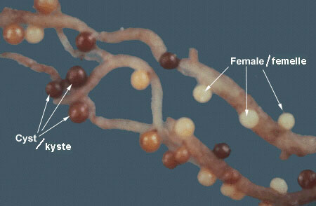 Cysts and females