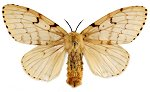 Asian gypsy moth - Natural Resources Canada