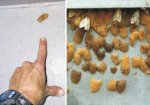 Asian gypsy moth egg mass - Canadian Food Inspection Agency