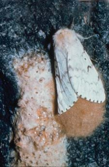 Female Lymantria dispar moth ovipositing an ovoid egg mass. Egg masses are covered with tan coloured hairs from the female's abdomen.