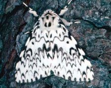 Adult Lymantria monacha. Note white forewings and numerous dark, transverse, wavy lines and patches.