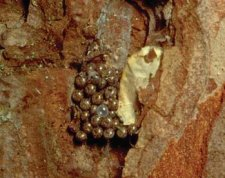 Bark scale removed to reveal naked Lymantria monacha egg mass.