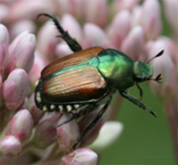 Figure 5, Adult Japanese Beetle