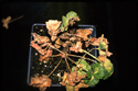 Advanced stages of R. solanacearum infection on Geranium.