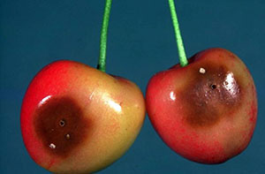 exit holes on damaged cherries