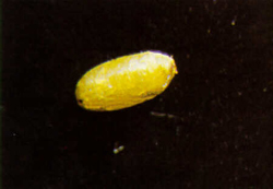 Oval-shaped pupae