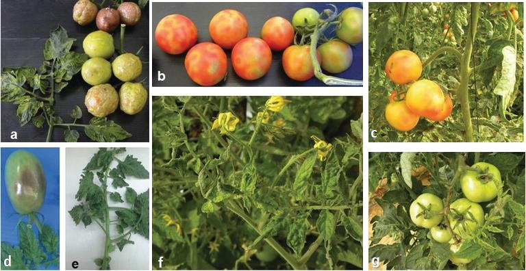 Figure 1: Tomato plants infected with tomato brown rugose fruit virus. Description follows.