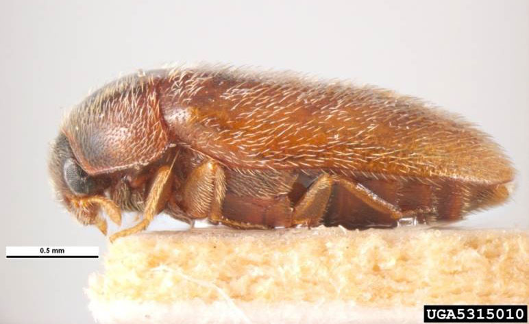 A close up, lateral view of an adult khapra beetle