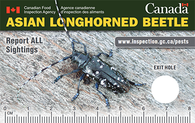 Thumbnail image for plant pest credit card: Asian longhorn beetle. Description follows.