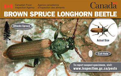 Thumbnail image for plant pest credit card: Brown spruce longhorn beetle. Description follows.