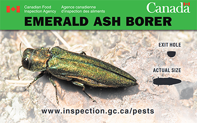 Thumbnail image for plant pest credit card: Emerald ash borer. Description follows.
