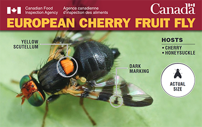 Thumbnail image for plant pest credit card: European cherry fruit fly. Description follows.