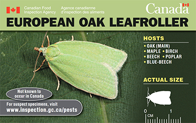 Thumbnail image for plant pest credit card: European oak leafroller Description follows.