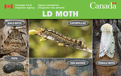Thumbnail image for plant pest credit card: Gypsy moth. Description follows.