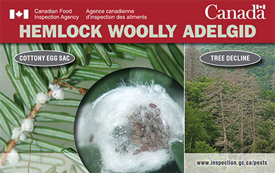 Thumbnail image for plant pest credit card: Hemlock woolly adelgid. Description follows.