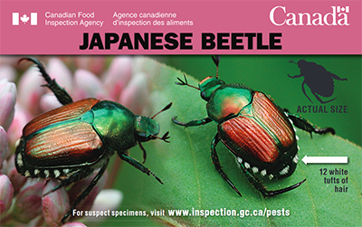 Thumbnail image for plant pest credit card: Japanese Beetle. Description follows.