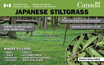 Thumbnail image for plant pest credit card: Japanese stiltgrass. Description follows.