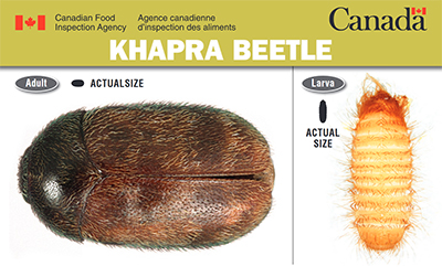 Thumbnail image for plant pest credit card: Khapra beetle. Description follows.