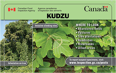 Thumbnail image for plant pest credit card: Kudzu Description follows.