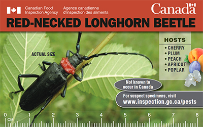 Thumbnail image for plant pest credit card: Red-necked longhorned beetle. Description follows.