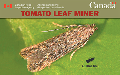 Thumbnail image for plant pest credit card: Tomato leaf miner. Description follows.