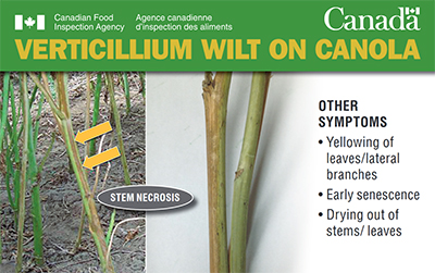Thumbnail image for plant pest credit card: Verticillium wilt on canola. Description follows.