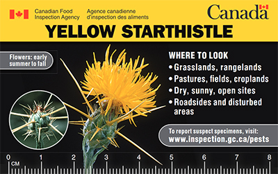Thumbnail image for plant pest credit card: Yellow starthistle. Description follows.