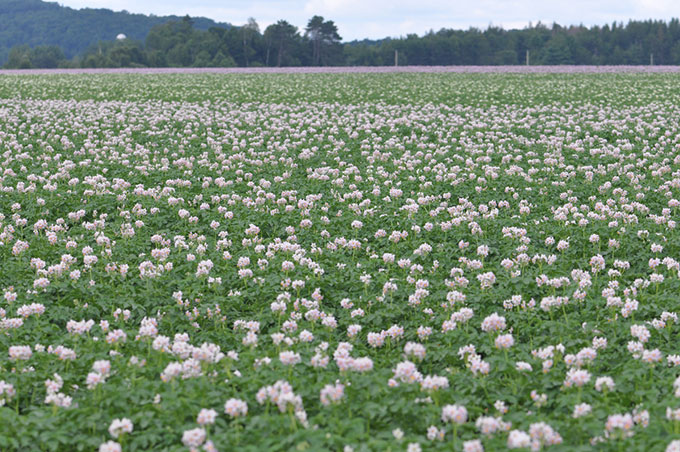 Solanum tuberosum field in bloom near Montebello, Quebec, Canada