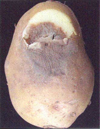 3 | Jelly-like consistency of tuber flesh Fusarium spp. Description follows.