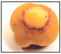Picture 67 - Potato Virus Y - external symptom. Description follows.