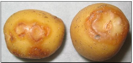 Picture 71 - Potato Virus Y - external symptom. Description follows.