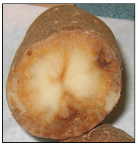 Picture 70 - Potato Virus Y - internal necrosis. Description follows.