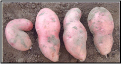 Picture 43 - Herbicide Damaged Tubers. Description follows.