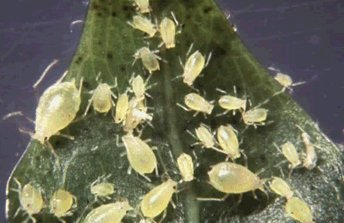 A photo of a several nymphal and wingless adult Green Peach Aphids.
