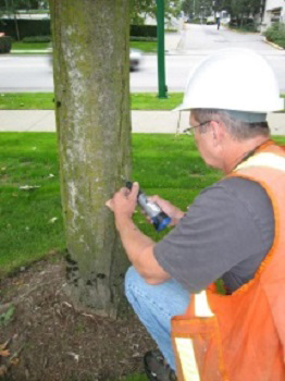 A technician is marking a tree with Asian longhorned beetle simulated signs.