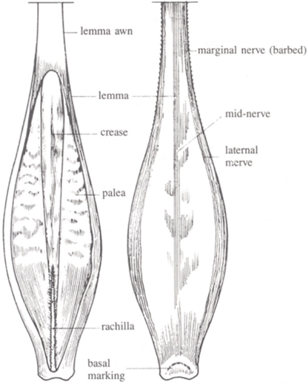 Ventral and dorsal side of barley kernal. Description follows.