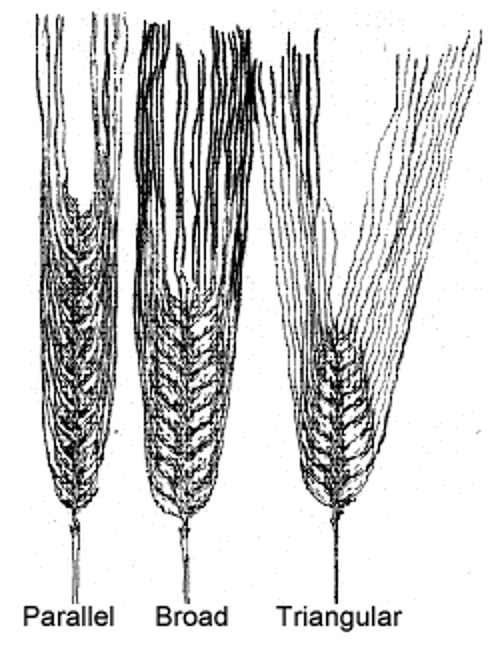 Barley spikes. Description follows.