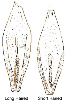 Diagram of barley rachilla hairs. Description follows.
