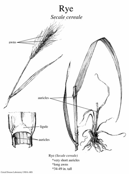 Diagram of Rye plant parts. Description follows.