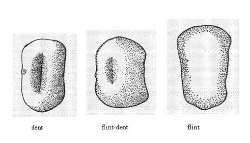 corn kernel shape