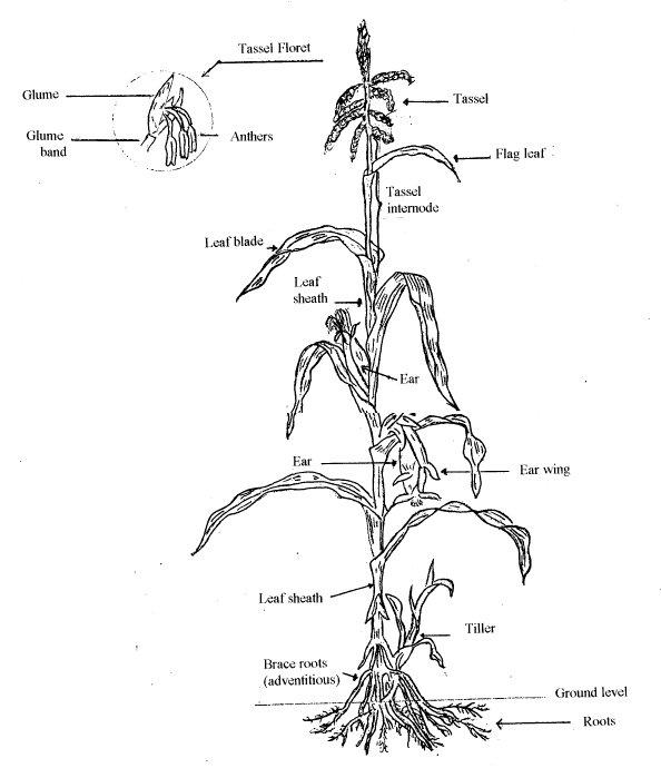 A Diagram Of Ear Corn - Block And Schematic Diagrams •