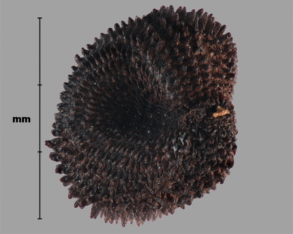 Photo - Purple cockle (Agrostemma githago) seed (hilum view)