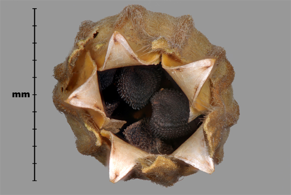 Photo - Purple cockle (Agrostemma githago) seeds in capsule